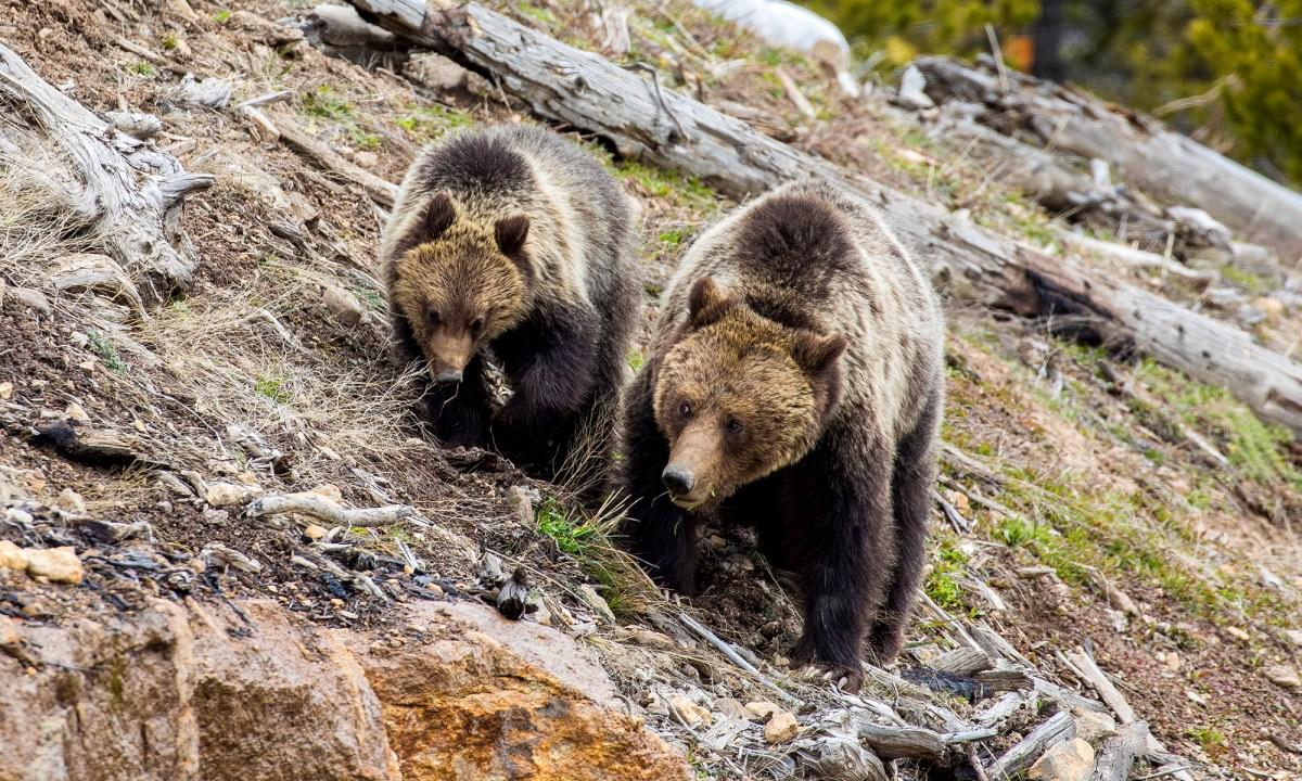 myth_bears